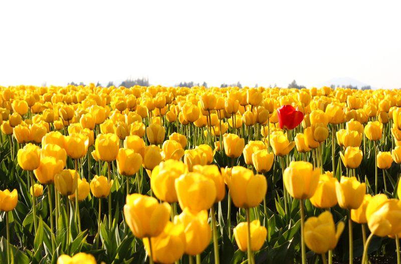 Unique tulip copy
