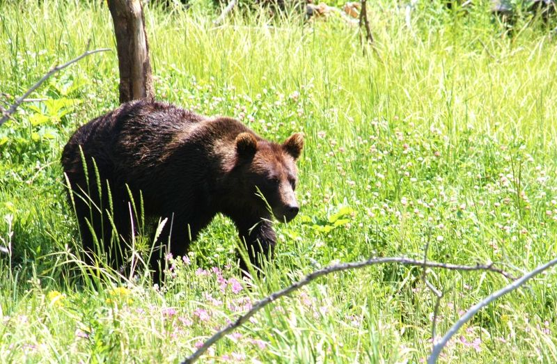 Lisa Johnson Yellowstone bear